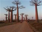 Madagaskar - alej baobabů